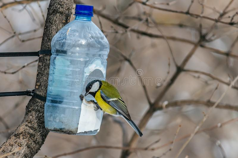 A beautiful yellow tit bird is in the transparent plastic bottle feeder house in the park in winter royalty free stock image