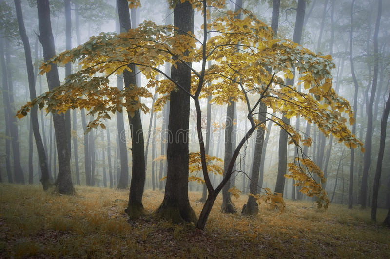 Beautiful yellow tree in a forest with fog stock image