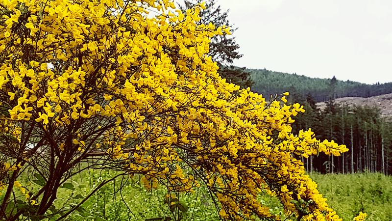 Gorgeous bright yellow shrub in front of amazing Oregon Coast landscape royalty free stock photography