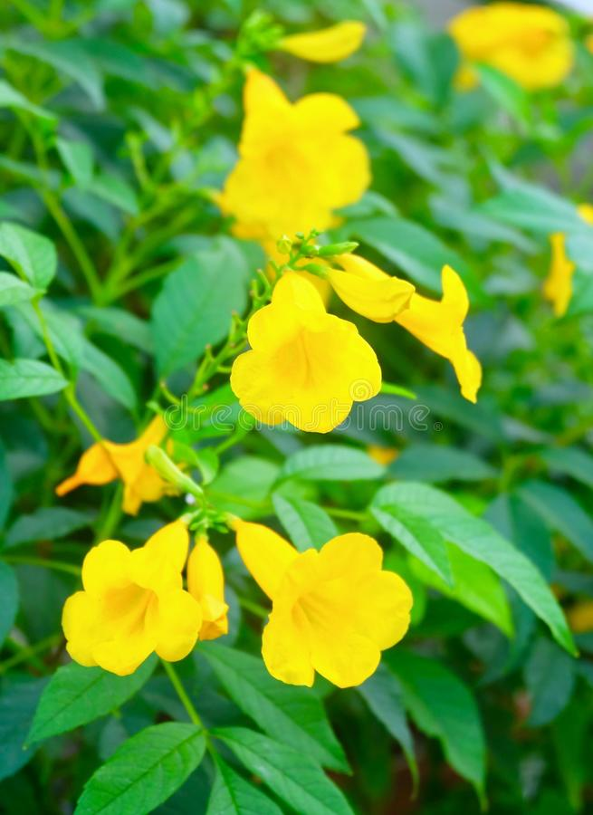 Beautiful Yellow Trumpetbush Flowers with Green Leaves. Beautiful Flower, Fresh Tecoma Stans, Yellow Trumpetbush, Bells, Elder, Ginger Thomas Blooming with Green stock photos