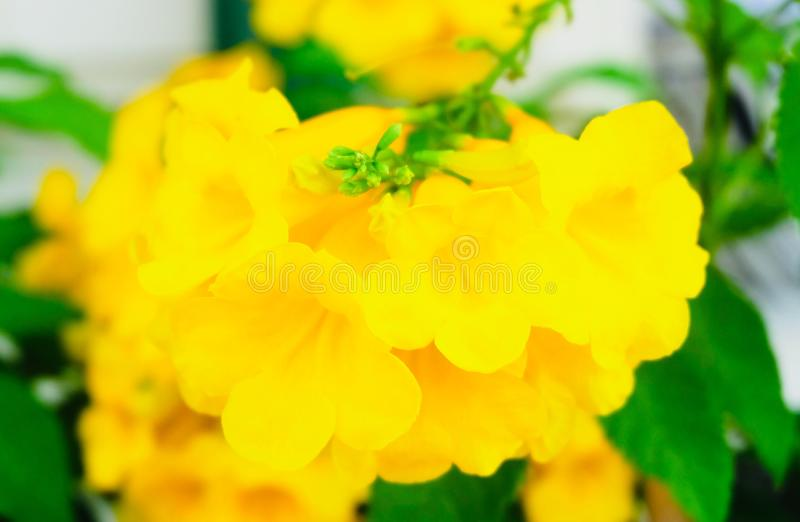Beautiful Yellow Trumpetbush Flowers with Green Leaves. Beautiful Flower, Fresh Tecoma Stans, Yellow Trumpetbush, Bells, Elder, Ginger Thomas Blooming with Green royalty free stock photos