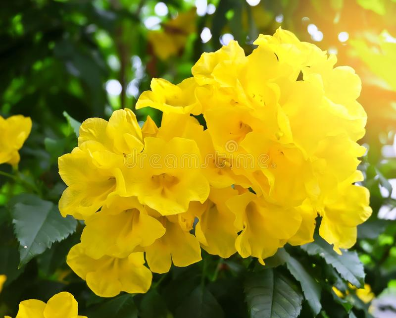 Beautiful Yellow Trumpetbush Flowers with Green Leaves. Beautiful Flower, Fresh Tecoma Stans, Yellow Trumpetbush, Bells, Elder, Ginger Thomas Blooming with Green stock photography