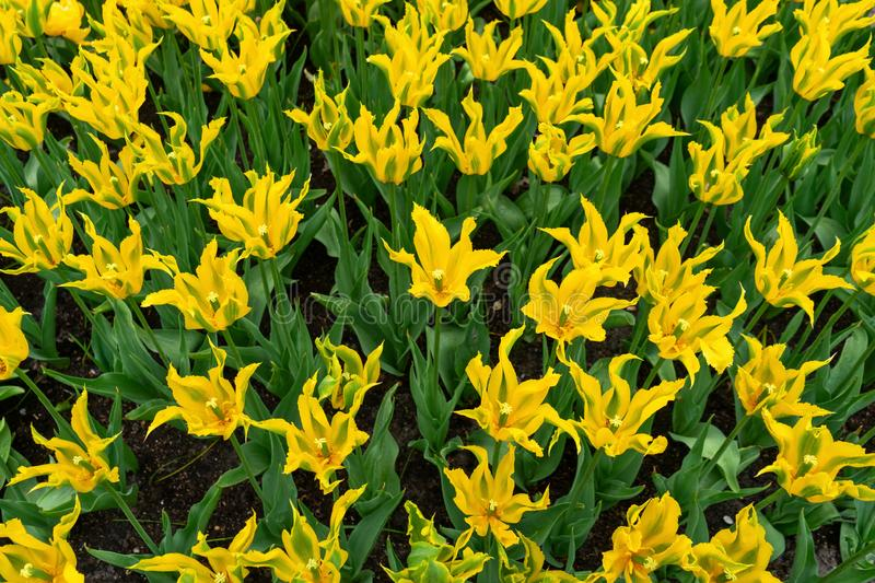 Beautiful yellow tulip flowers with pointed petals in spring garden royalty free stock images