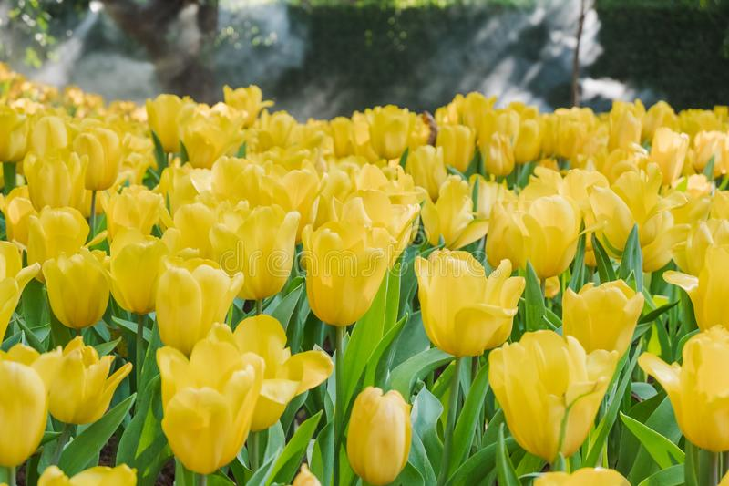 Beautiful yellow tulips in a floral garden . Select focus stock photography
