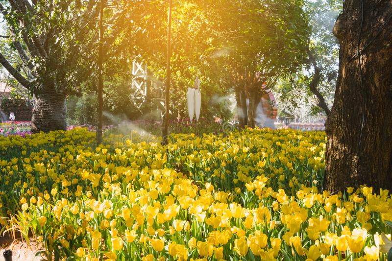 Beautiful yellow tulips in a floral garden . Select focus royalty free stock photos