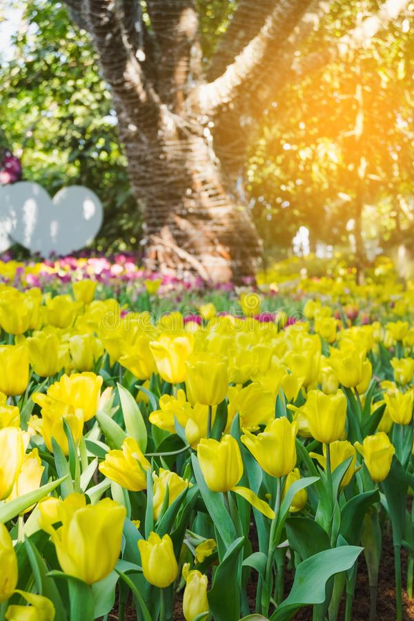 Beautiful yellow tulips in a floral garden . Select focus royalty free stock images