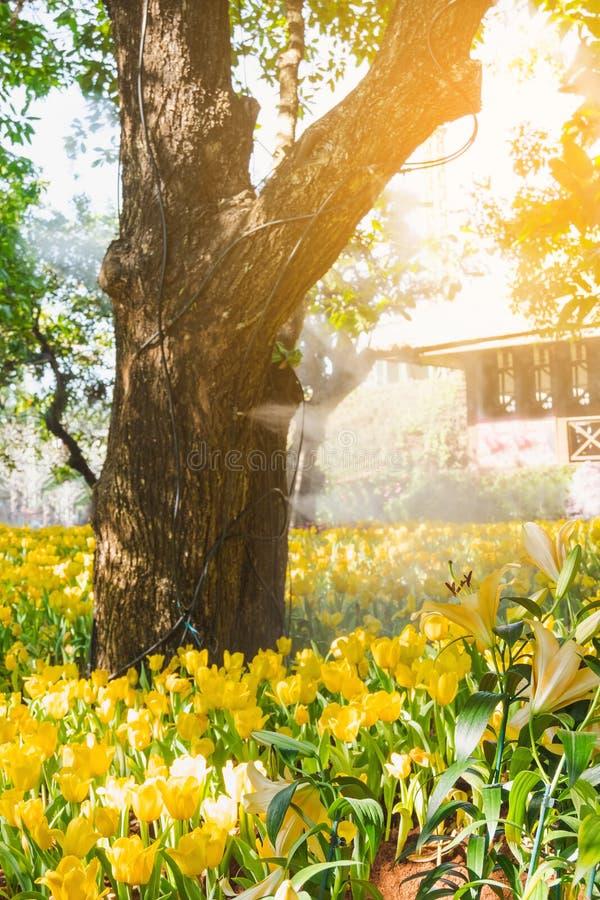 Beautiful yellow tulips in a floral garden . Select focus stock photos