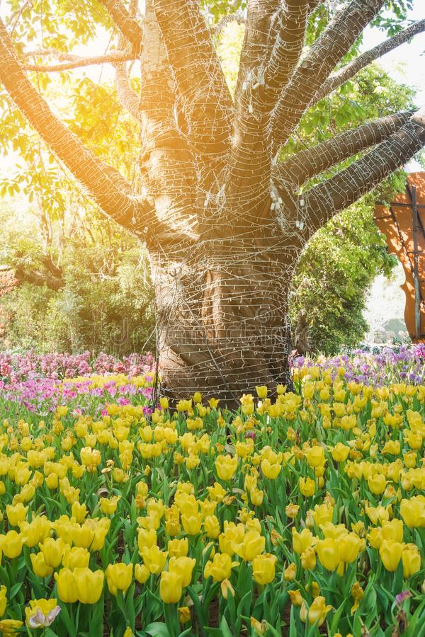 Beautiful yellow tulips in a floral garden . Select focus royalty free stock photo