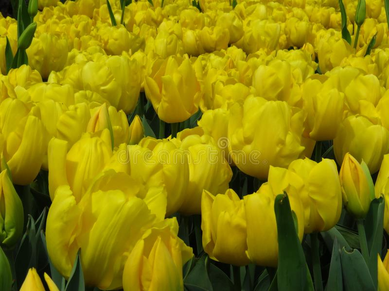 Beautiful Daydream Yellow Tulips Flowers Image. Many yellow tulips blooming in the garden. Beautiful spring flower in sunny spring day in park garden royalty free stock photography