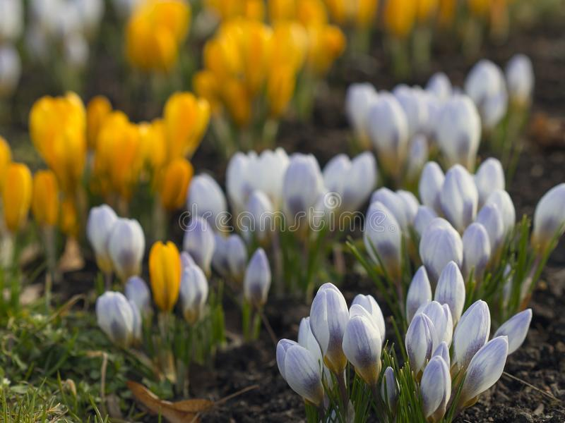 Beautiful yellow and violet crocus flower. Beautiful yellow and light violet crocus flower. Early spring flowers stock images