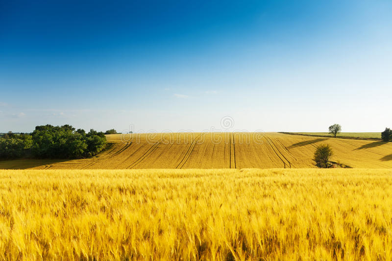 Beautiful yellow wavy field is summer royalty free stock photography