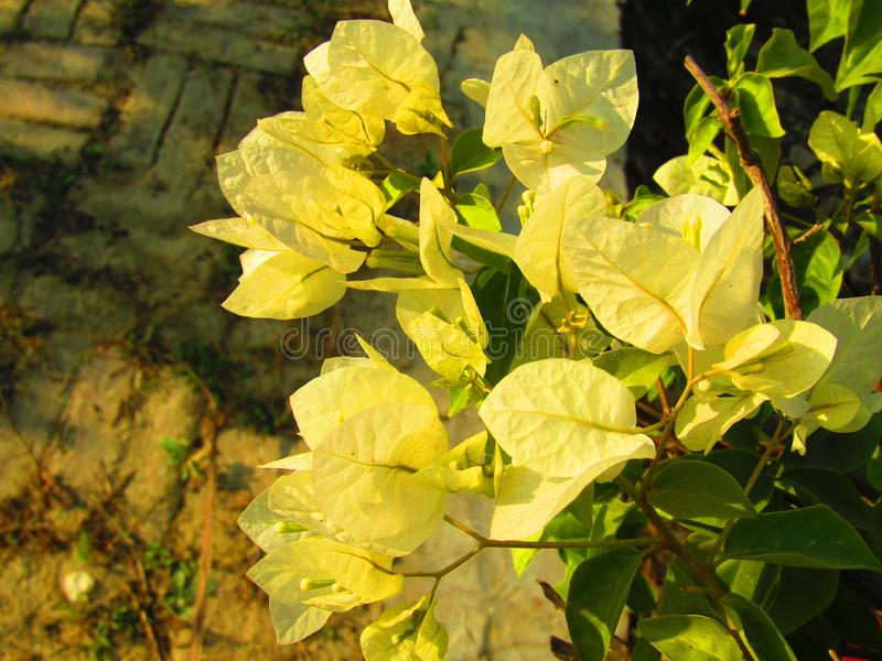 Beautiful Yellow and white  color Bougainvillea is a genus of thorny ornamental vines, bushes, or trees or yellow King. Bougainvillea royalty free stock photography