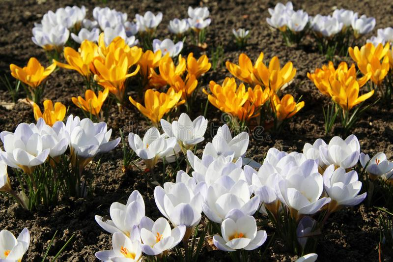 Beautiful yellow and white crocuses flowers. Early spring royalty free stock photography