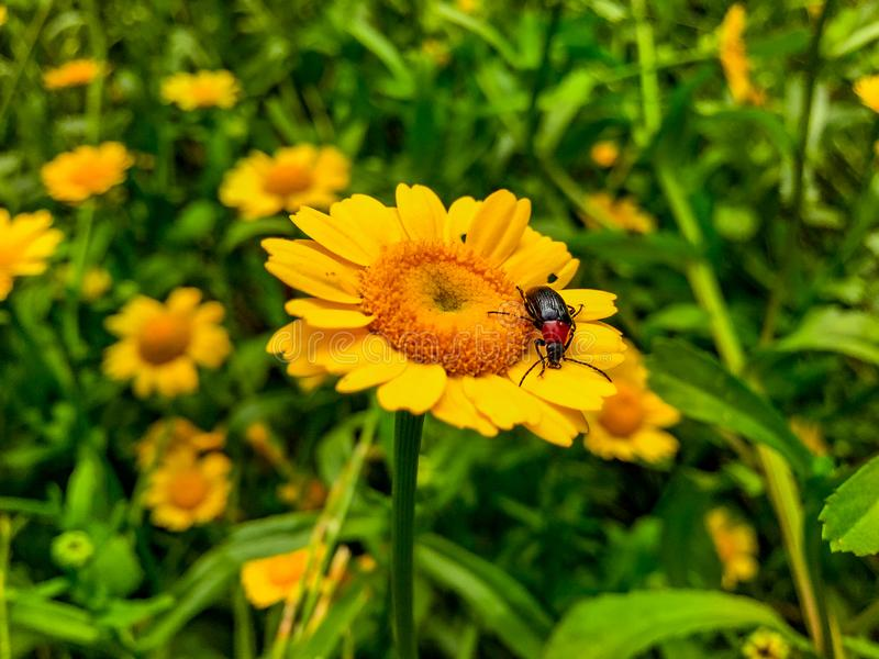 Beautiful Yellow Wild Flower with a bug feed polen royalty free stock image