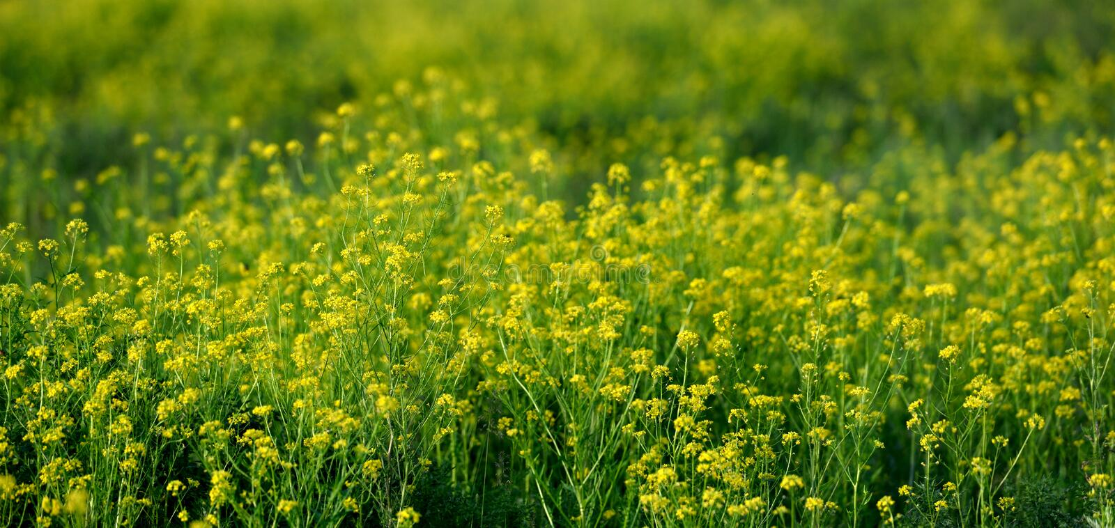 Beautiful yellow wildflowers in a field in spring stock image