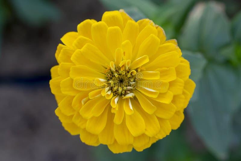 Beautiful Yellow Zinnia elegans `Benary`s Giant Golden royalty free stock photo