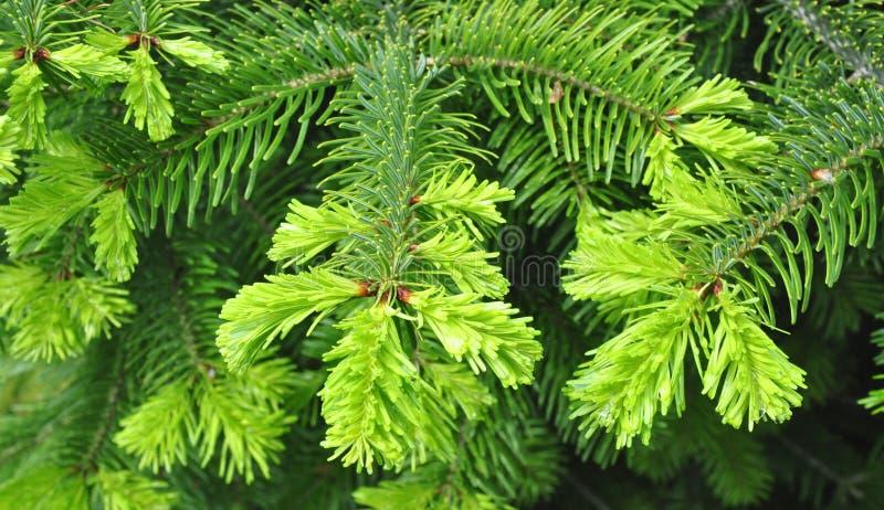 Beautiful yew twig. Beautiful green yew twig background royalty free stock image