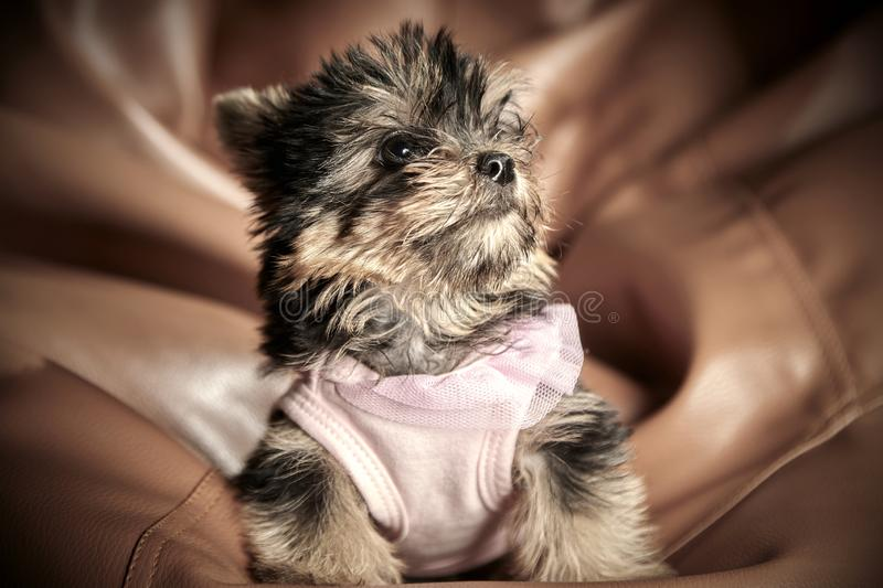 Yorkshire Terrier puppies. Beautiful Yorkshire Terrier puppy sitting royalty free stock photos