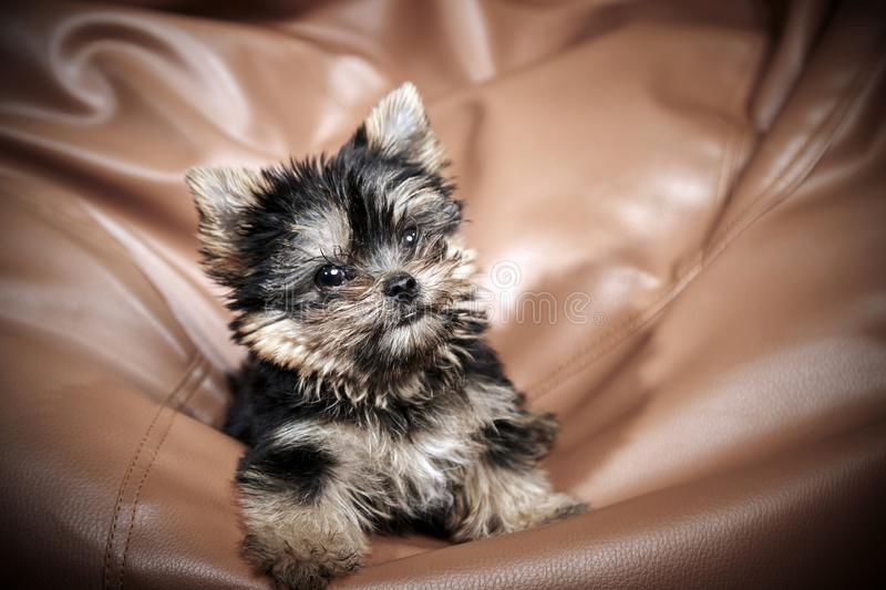 Yorkshire Terrier puppies. Beautiful Yorkshire Terrier puppy sitting royalty free stock photo