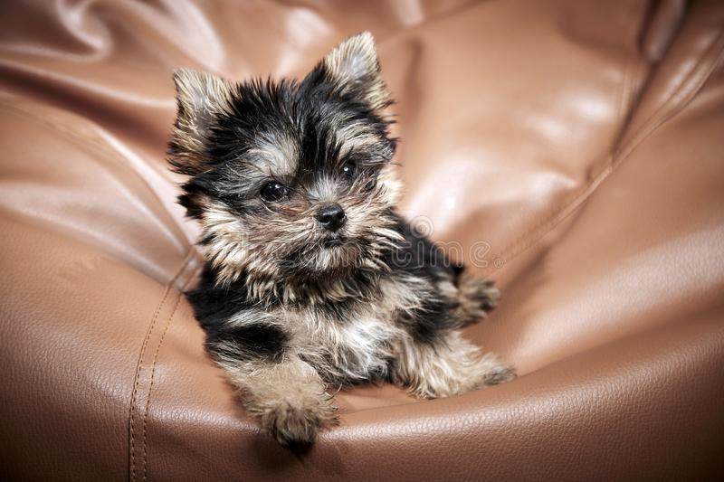 Yorkshire Terrier puppies. Beautiful Yorkshire Terrier puppy sitting stock photos