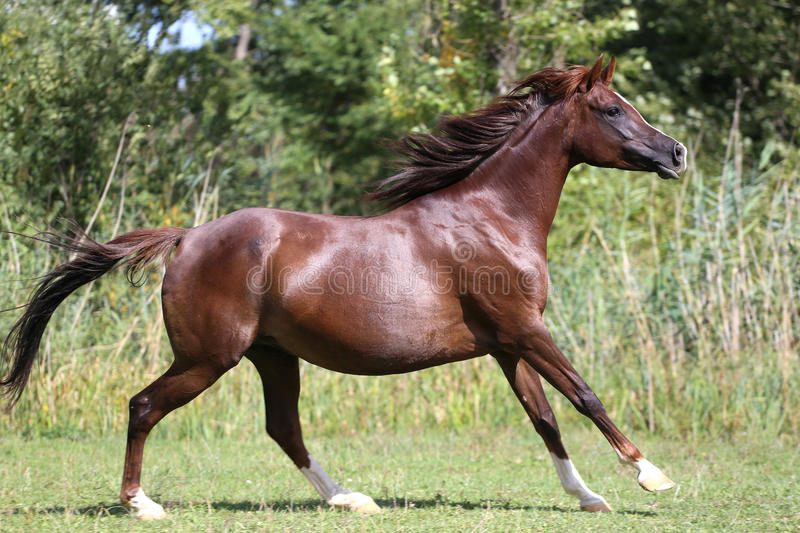 Beautiful young arabian mare galloping on pasture. Arabian young horse galloping on pasture against green reed royalty free stock photography