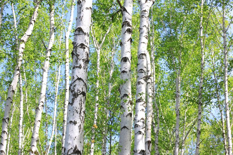 Beautiful young birch trees with green leaves. In summer in sunny weather royalty free stock photo