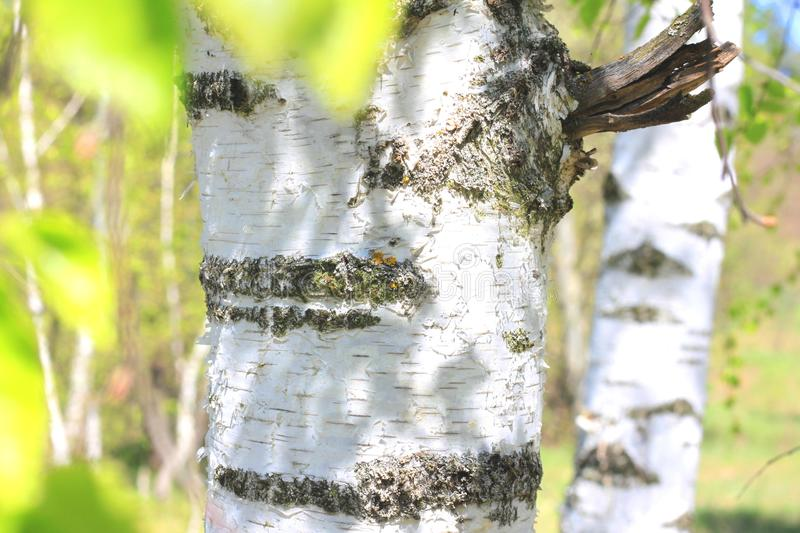 Birch trees with green leaves in summer royalty free stock images