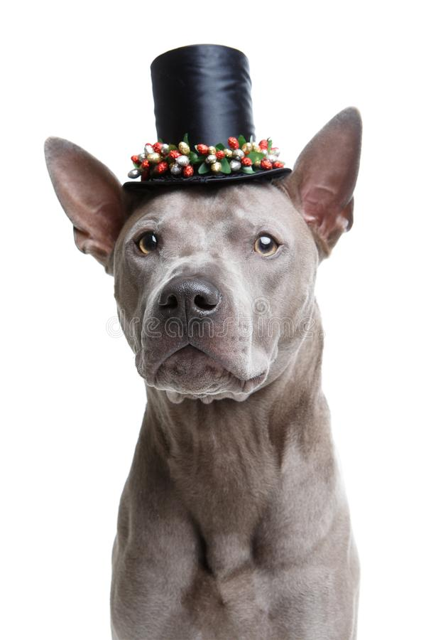 Beautiful thai ridgeback dog in high hat stock images