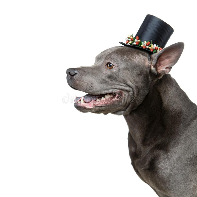 Beautiful thai ridgeback dog in high hat stock photos