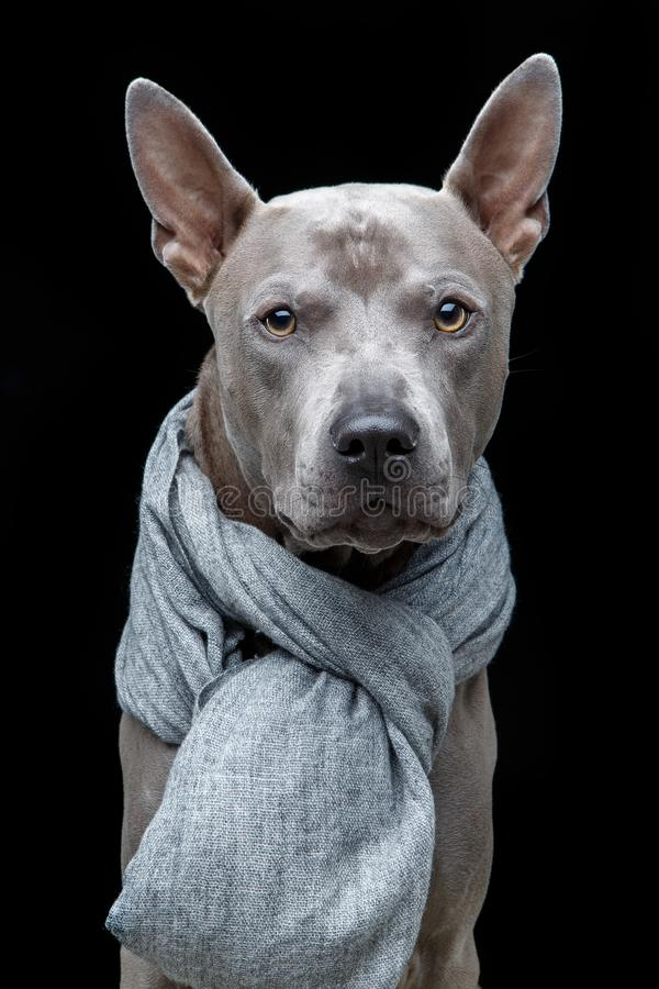 Beautiful thai ridgeback dog in grey scarf stock images