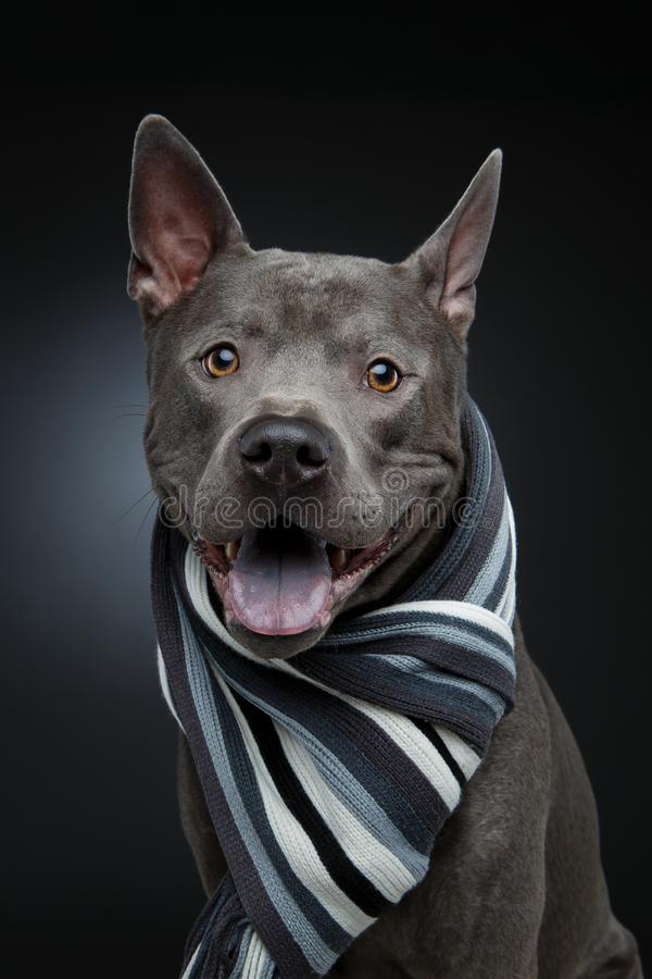 Beautiful thai ridgeback dog in grey scarf. Beautiful young blue thai ridgeback dog in grey scarf. studio shot on black background. copy space royalty free stock photography