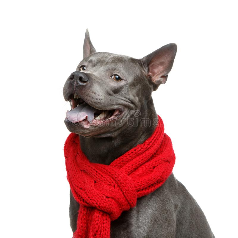 Beautiful thai ridgeback dog in red scarf stock image