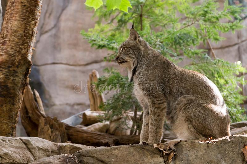 Beautiful young Canadian Lynx sitting in profile stock images