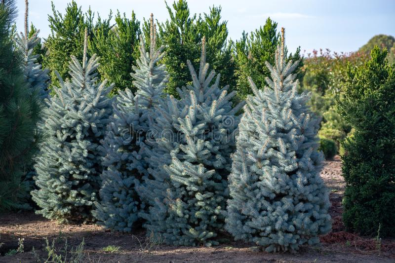 Beautiful young Colorado blue spruce growing on plantation, natural Christmas tree for Christmas holidays royalty free stock images