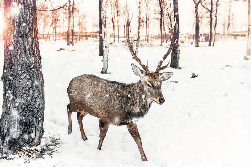A beautiful young deer with branched antlers in the winter in snow-covered forest at sunset. stock photos