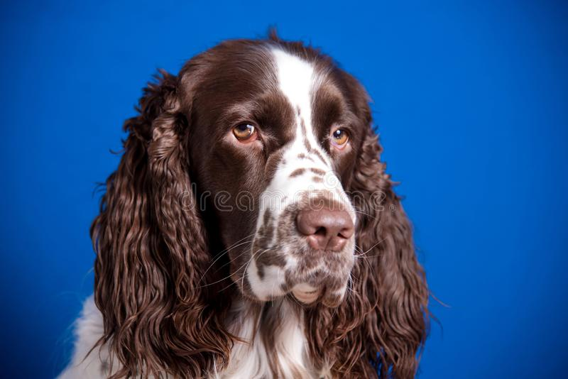 Beautiful young dog breed English Springer Spaniel on blue background. Muzzle close-up, expressive look in camera royalty free stock photos