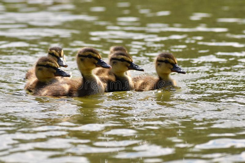 Beautiful young duck on the surface of a pond. Wildlife on a sunny summer day. Young water bird. Beautiful young duck on the surface of a pond. Wildlife on a royalty free stock images