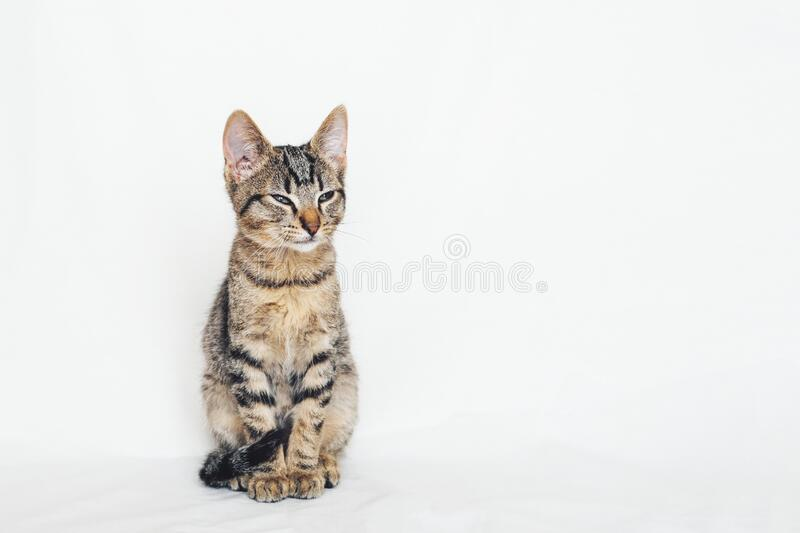 Beautiful young European Shorthair cat sitting on white background. Space for text. Mackerel tabby coat colour. Cute little sleepy kitten looking at you royalty free stock image
