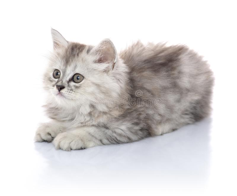 Beautiful Young Furry Kitten Sitting on White Board, Looking Away, Isolated on Blank White Background royalty free stock photos