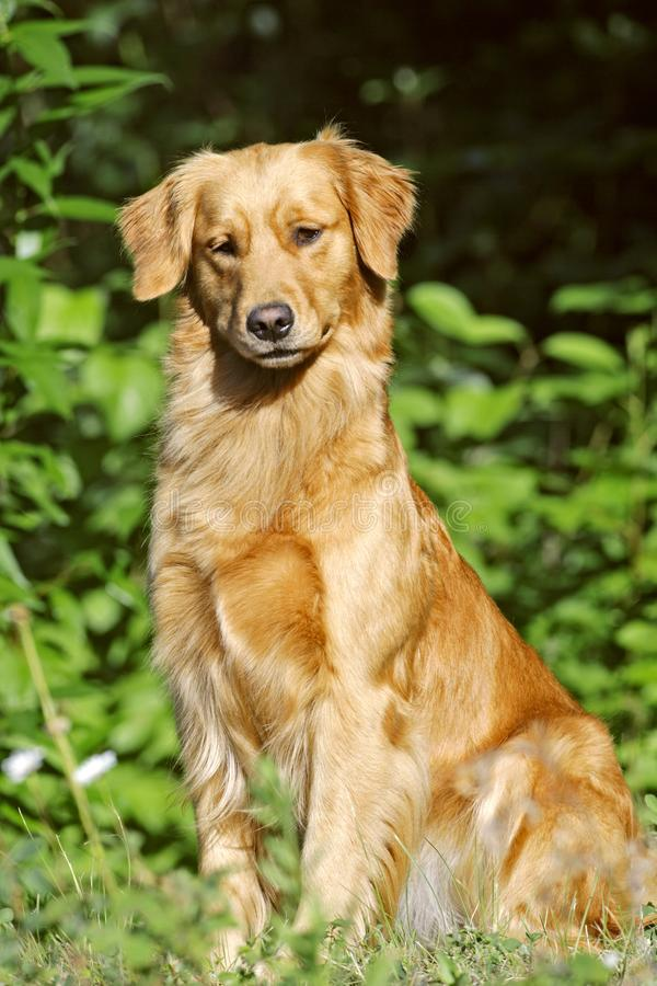 Beautiful young Golden Retriever sitting by green bush, looking interested. Golden Retriever sitting in grass by green bushes, focused royalty free stock photos