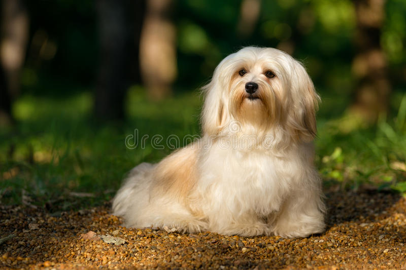 Beautiful young havanese dog is sitting on a sunny forest path. Beautiful young cream havanese dog is sitting on a sunny forest path in late summer royalty free stock photo