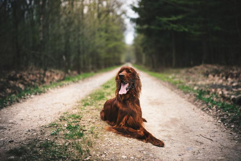 Beautiful young irish setter lie on a ground in the forest. Hunting dog in a nature. Concept of pets. royalty free stock image
