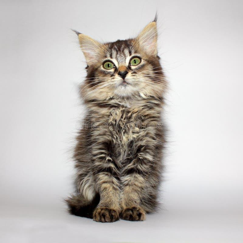 Beautiful young kitty royalty free stock photo