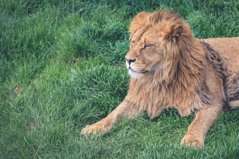 Beautiful young lion kingly laying on green grass, close-up, copy space royalty free stock images
