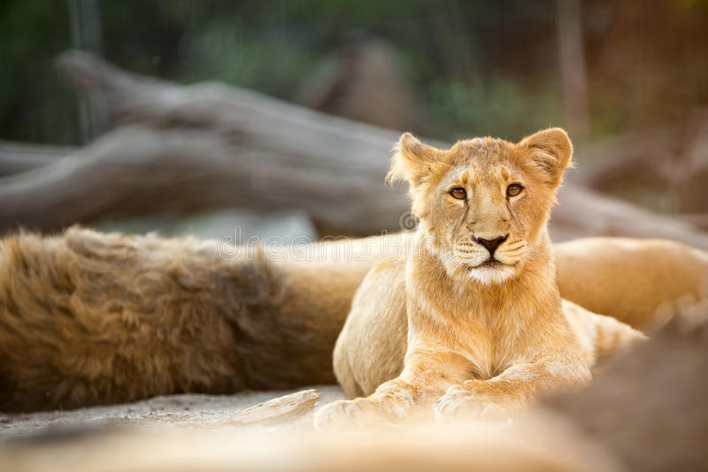 Beautiful young lion royalty free stock photography