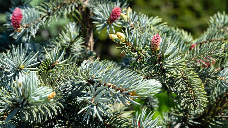 Beautiful young pink cones on blue spruce Picea pungens Hoopsii. Silver blue spruce in combination with evergreen royalty free stock photography