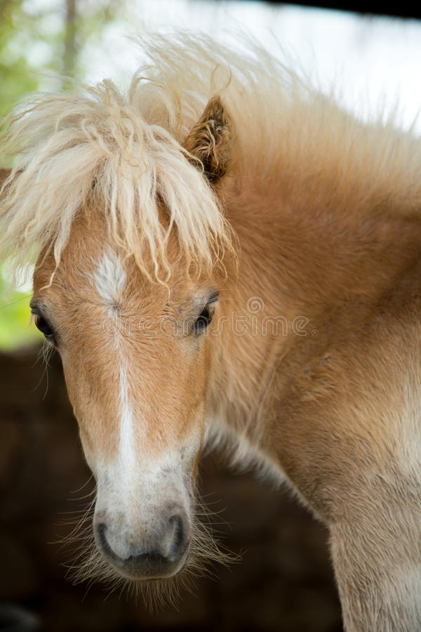 Free Beautiful Young Pony. Royalty Free Stock Photos - 43233208
