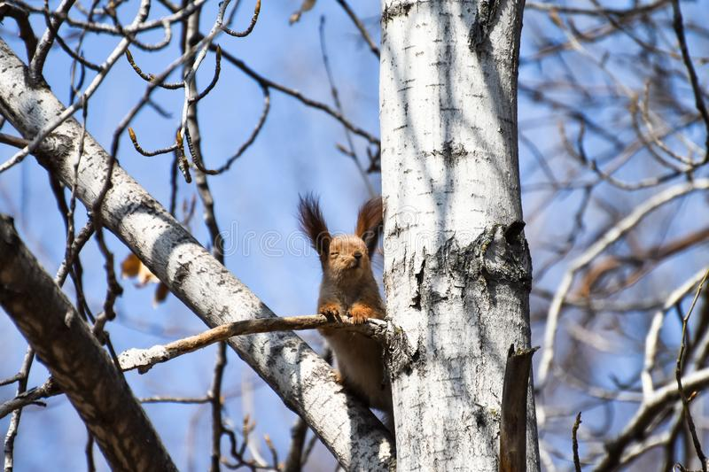Beautiful young red squirrel closed her eyes and enjoys the good weather and the spring sun stock images