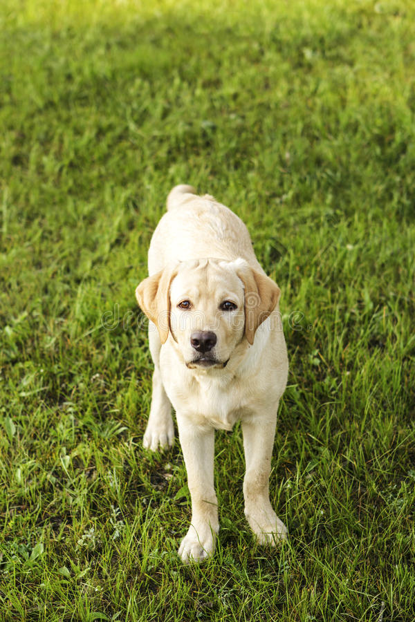 Beautiful young retriever stock images