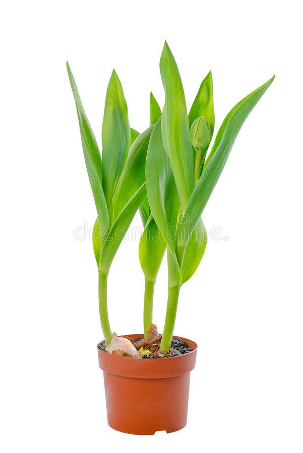 Beautiful young seedling tulips with green leaves in flower pot stock photo